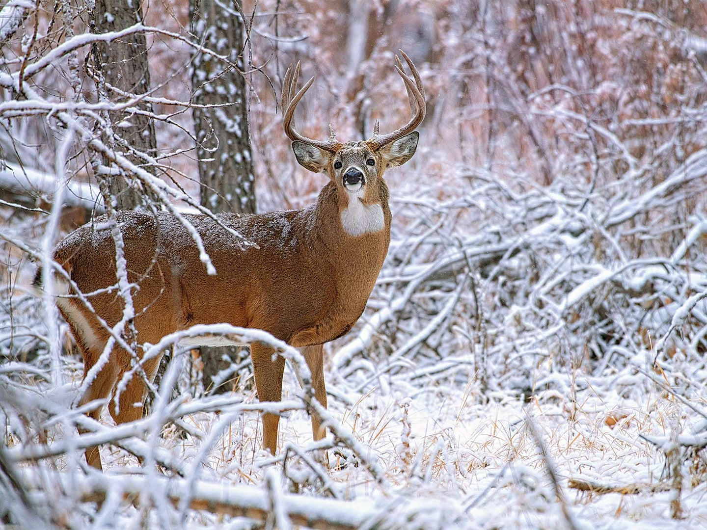 A whitetail buck walking through a snow-covered forest.