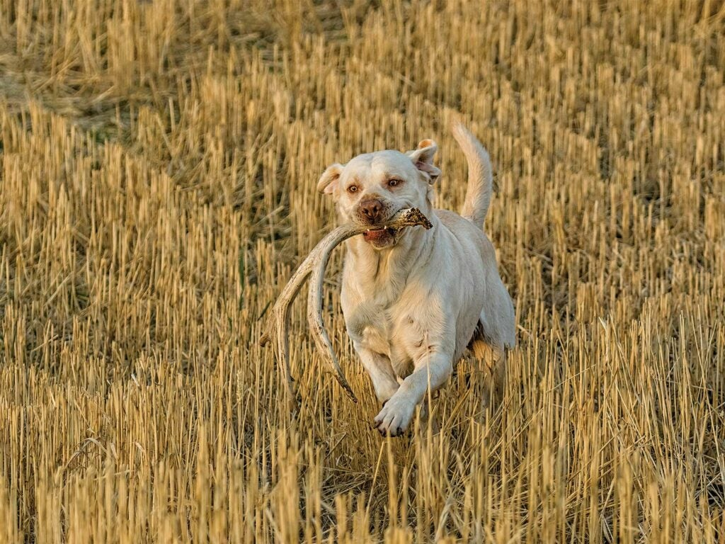 A hunting dog runs through a field carrying shed antlers.