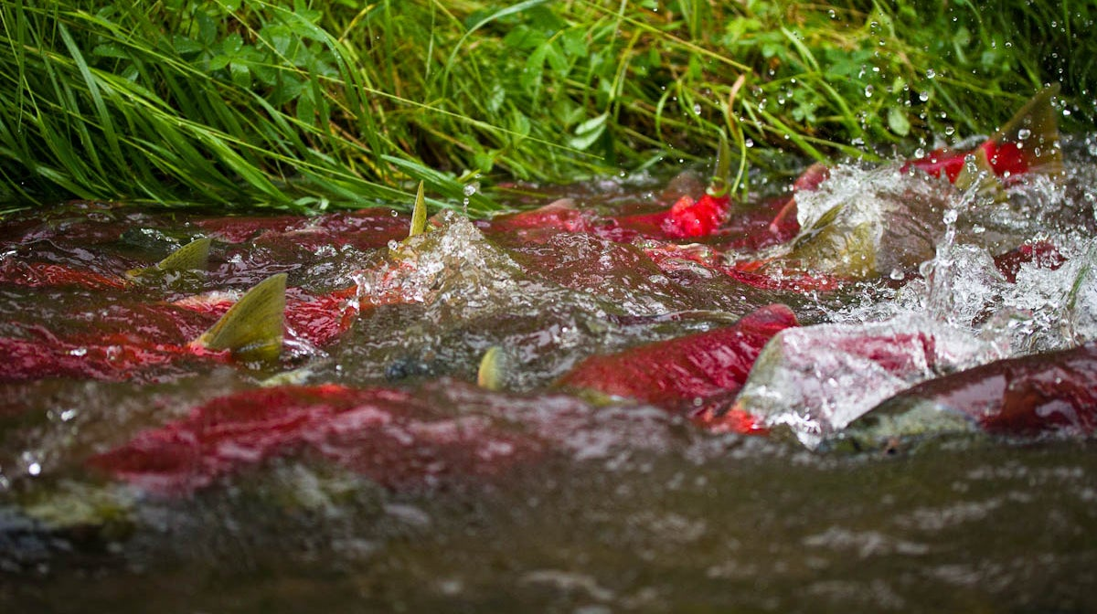 A pod of fish with red backs and green fins splashing in shallow running water.