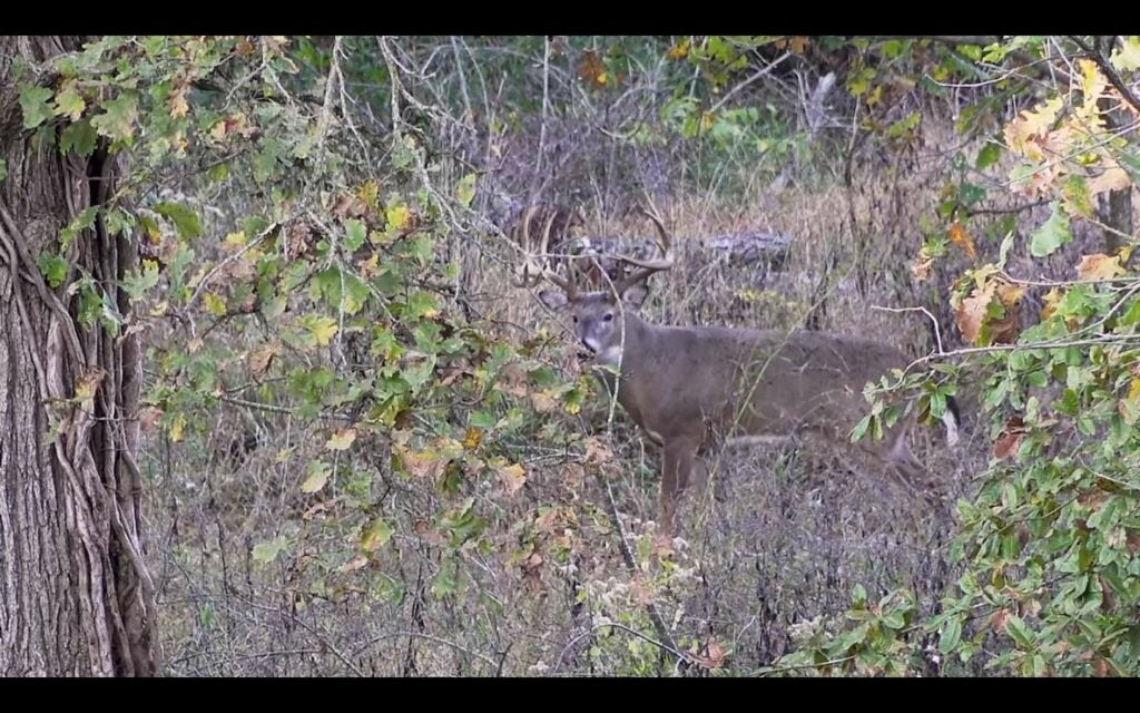 A whitetail buck obscured by heavy brush and trees.