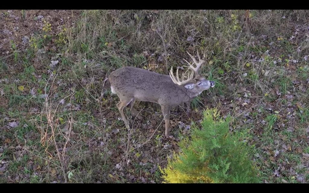 A whitetail buck walks through an area of ground covered with leaves.
