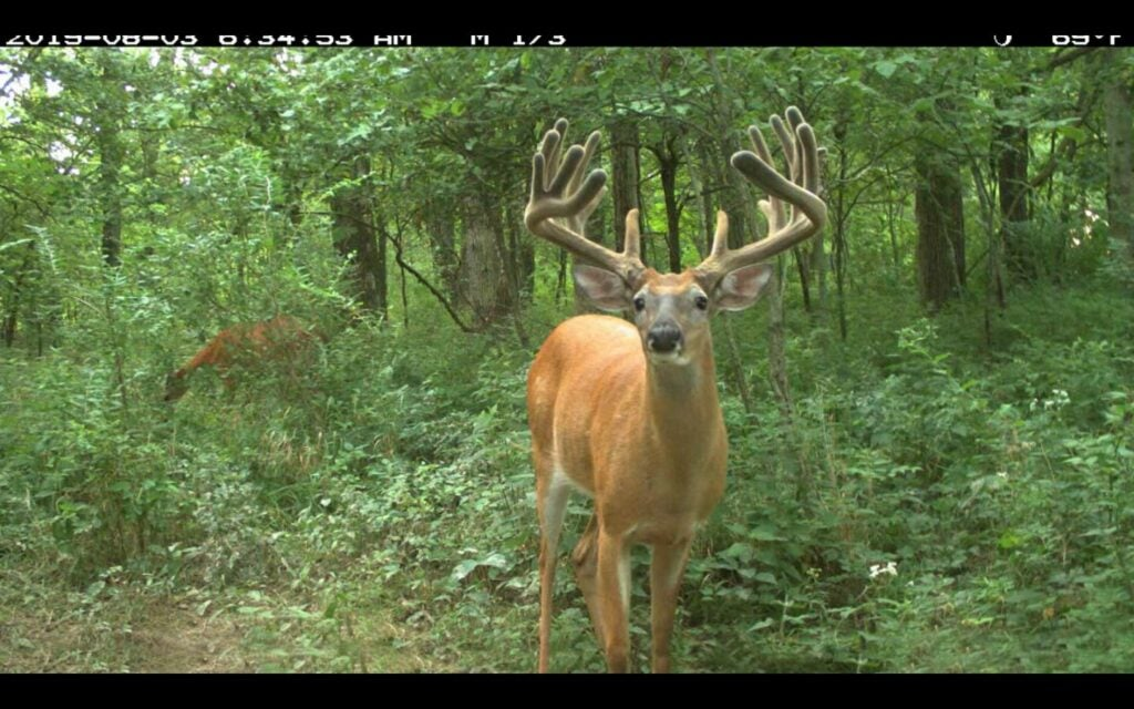 A whitetail deer with full velvet antlers stands in the woods.