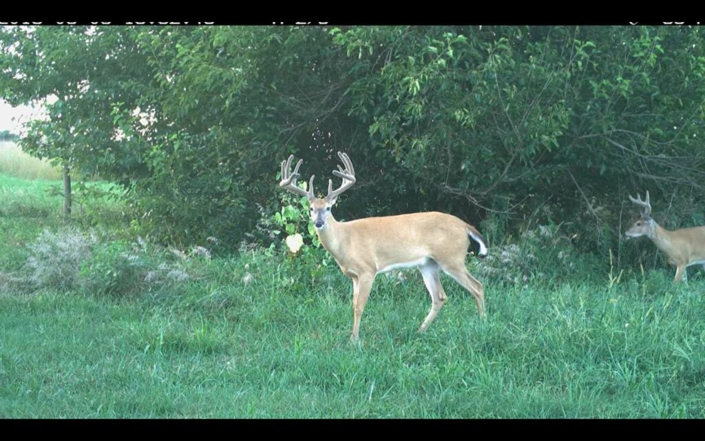 A whitetail deer walks in an open clearing.