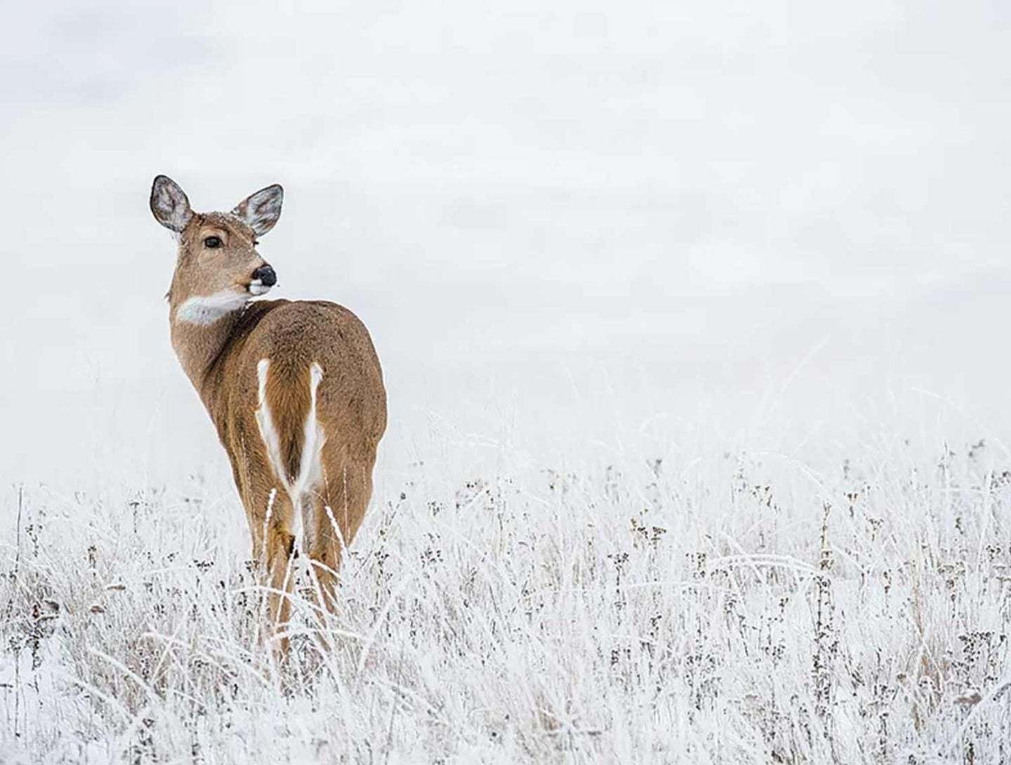 A whitetail doe walks through a snow-covered field of grass.