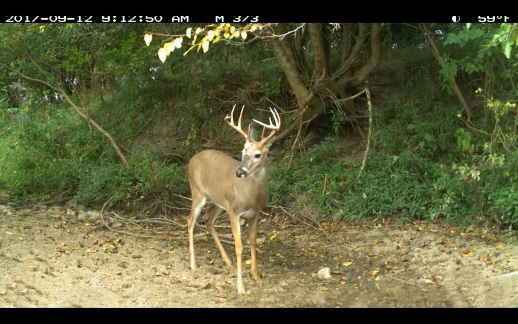 A whitetail deer stands on a dirt ground.