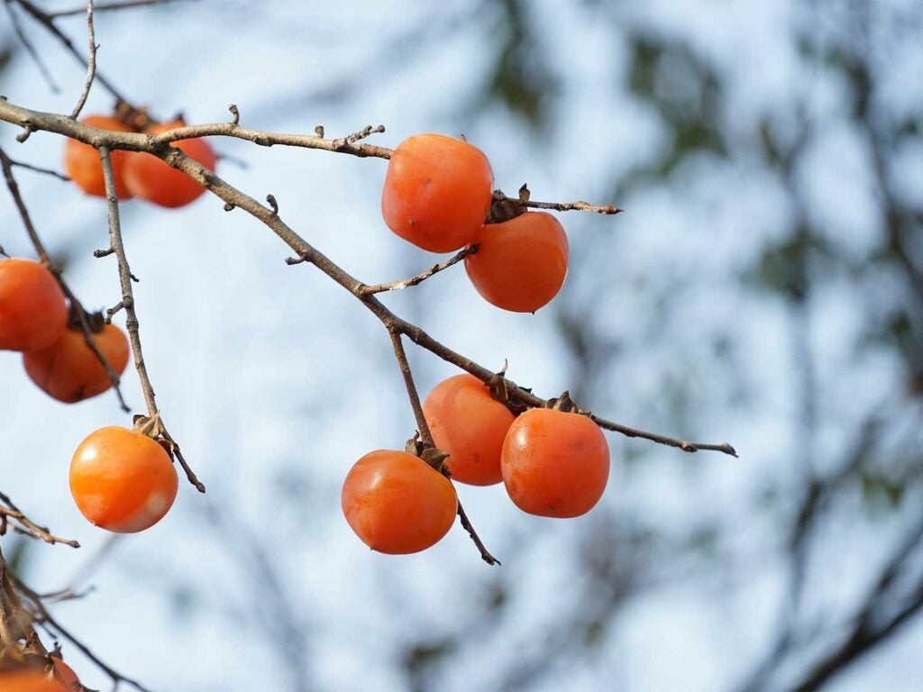 A bunch of wild persimmons growing on the branches of a tree.