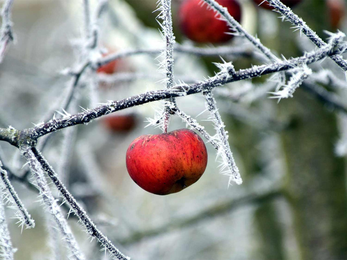 A batch of wild apples growing on a growing from branches of trees covered in ice and frost.