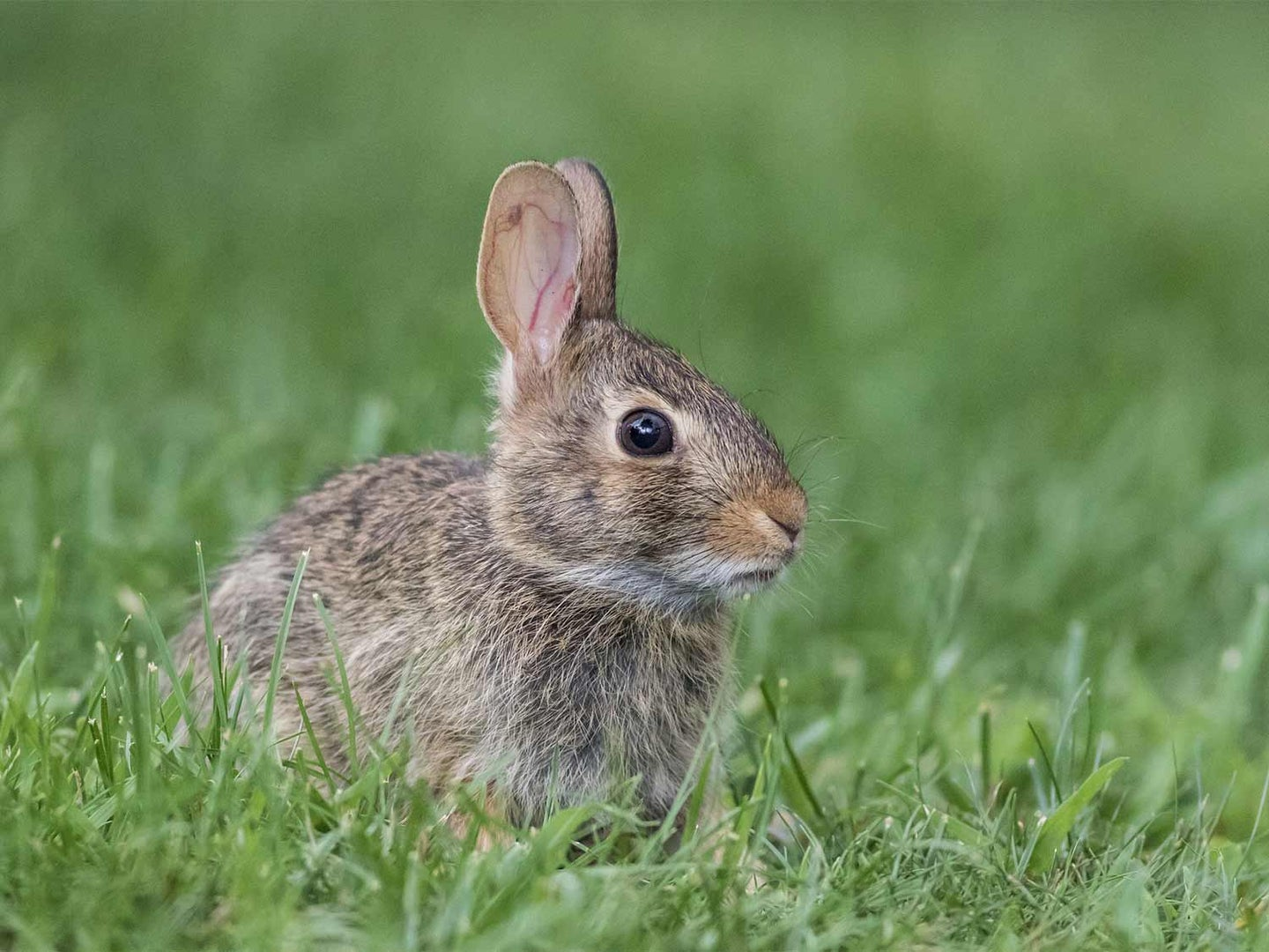 A small rabbit in the tall grass.