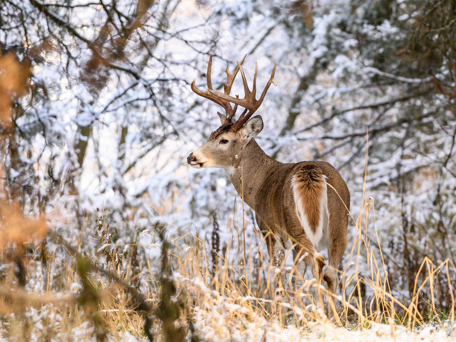 A whitetail deer walking through snow-covered woods.
