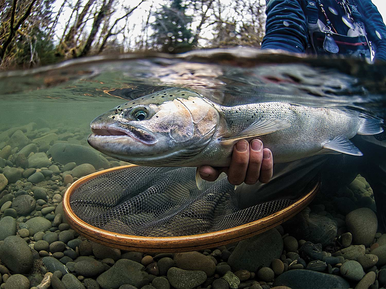 Underwater photo of a steelhead underwater caught in a net.