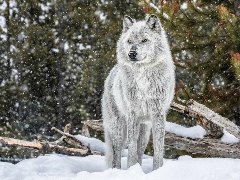 A white wolf standing in the snow.