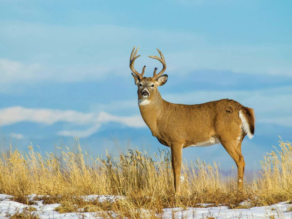 A whitetail deer standing in a field covered of snow.