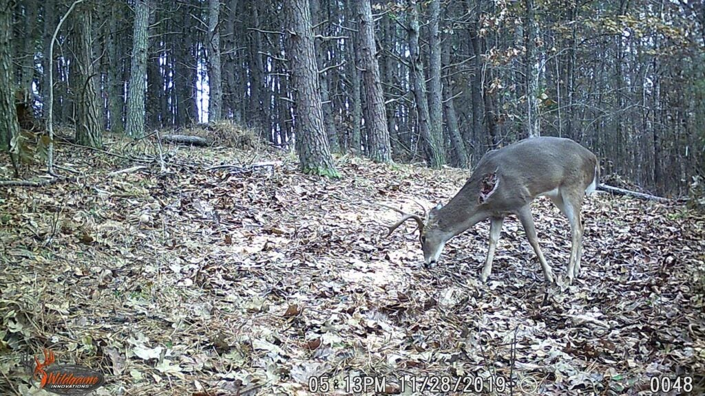 A whitetail deer with a wounded shoulder walks through an open clearing in the woods.