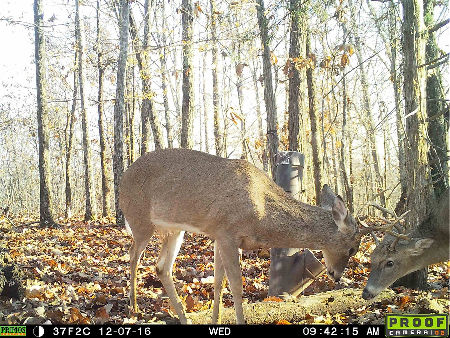 Two young whitetail bucks lock antlers in a tussle.