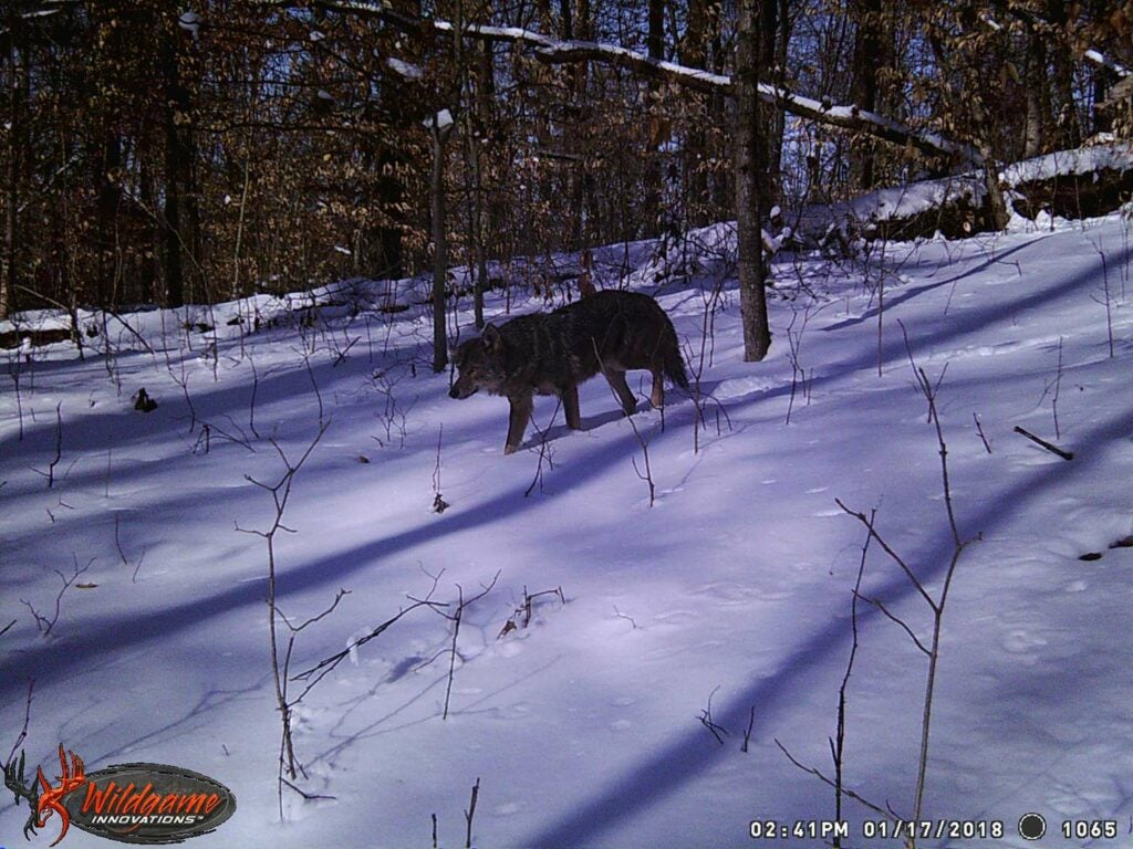 A coyote walks through deep snow in the woods.
