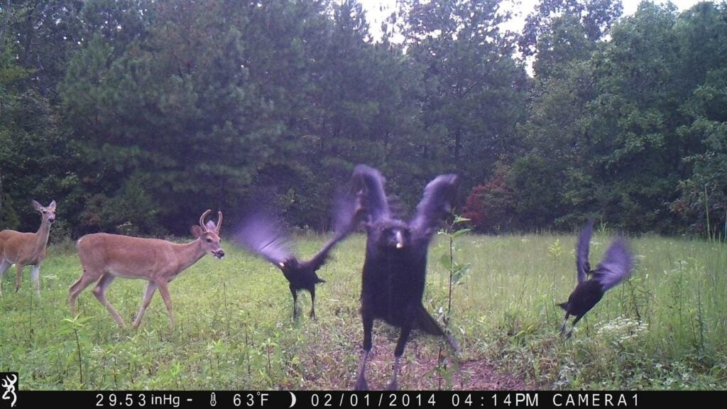A flock of crows fly towards the trail camera photo with a deer in the background.