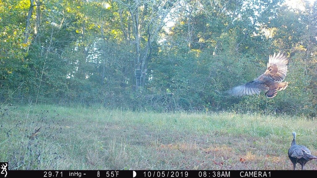 Trail camera photo showing turkeys flocking into a large open plot of land.