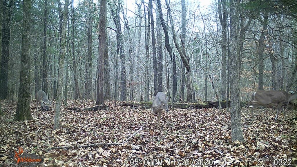 A single whitetail buck walks into a bedding area.