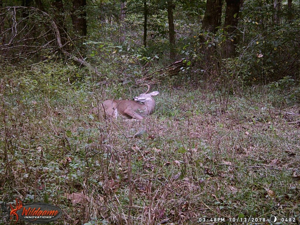 A deer lays in a clearing.
