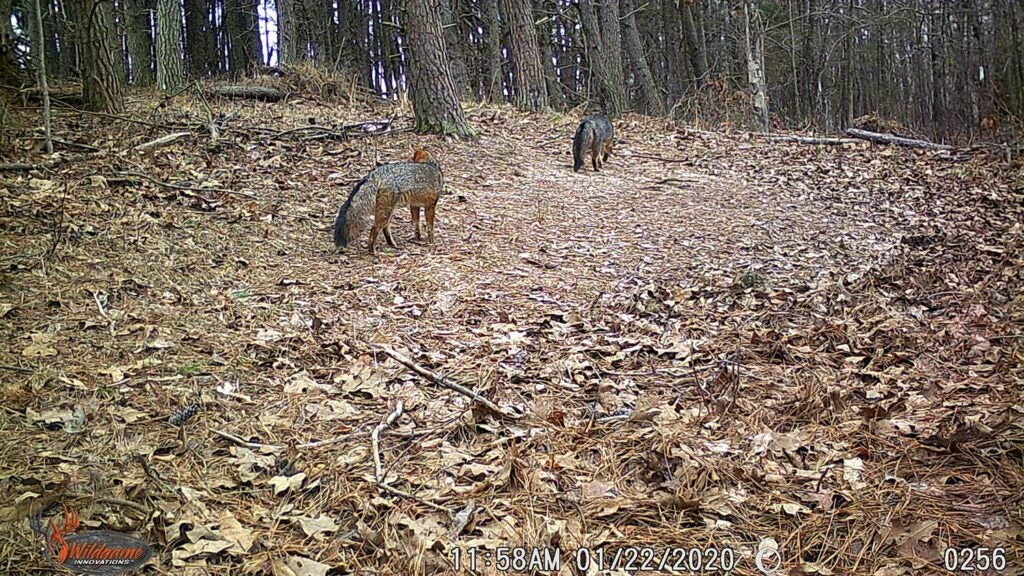Two gray foxes walk through an open clearing in the woods.