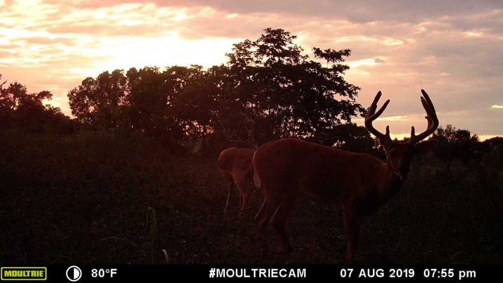 Deer standing in a field against a sunset.