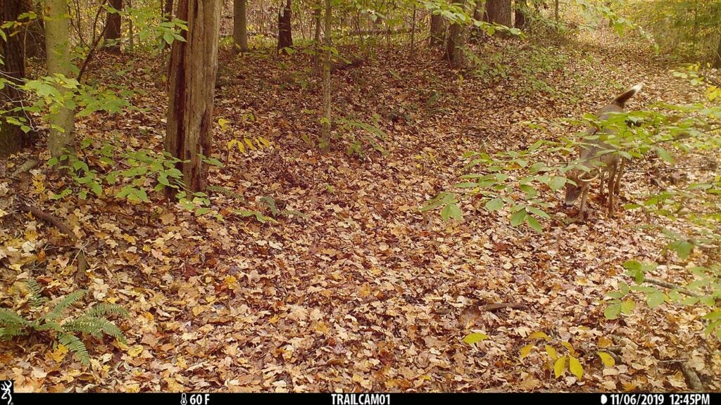 A buck walks through a pathway clearing in the woods.