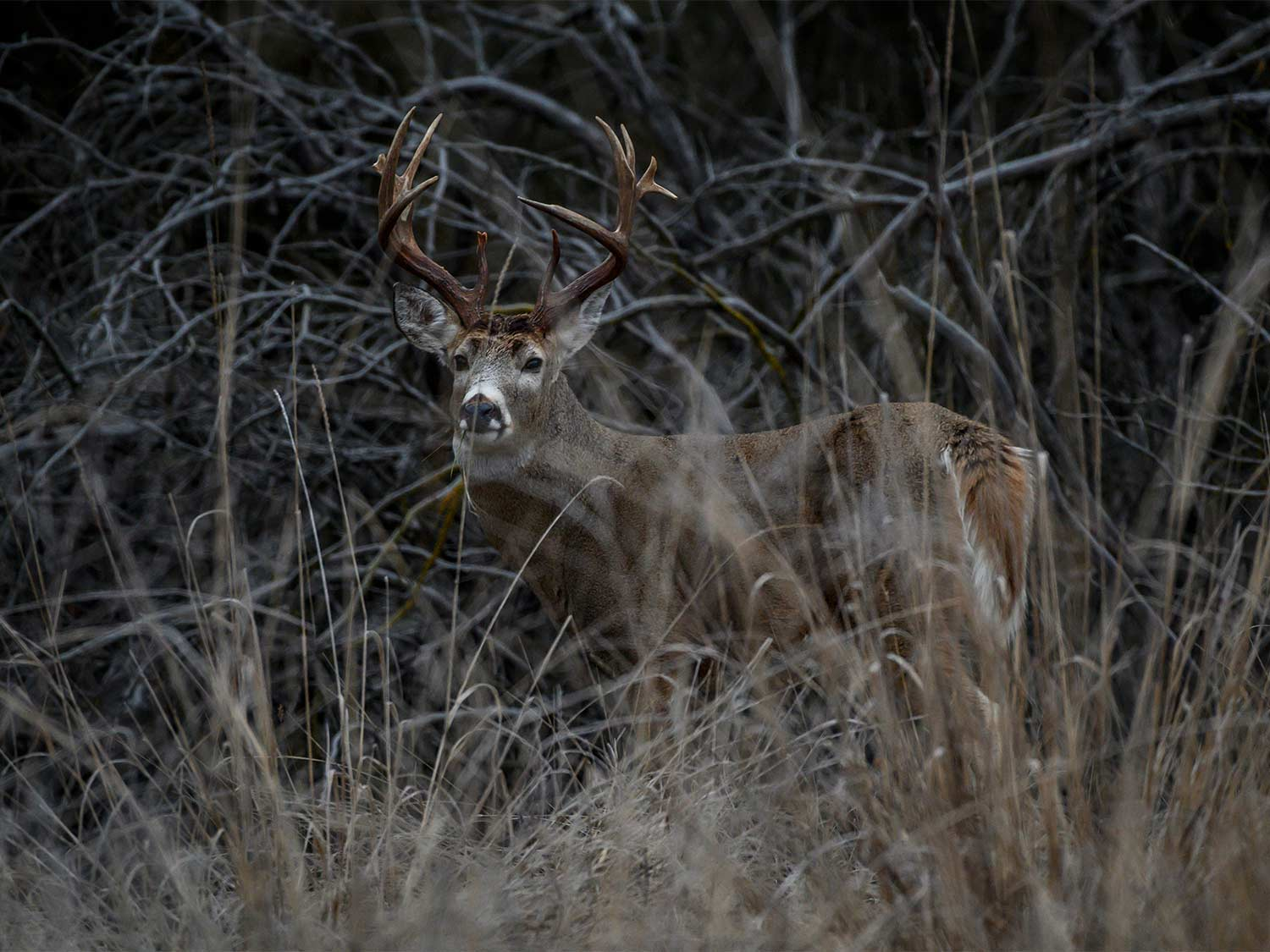 A big whitetail hides in a thick swamp.