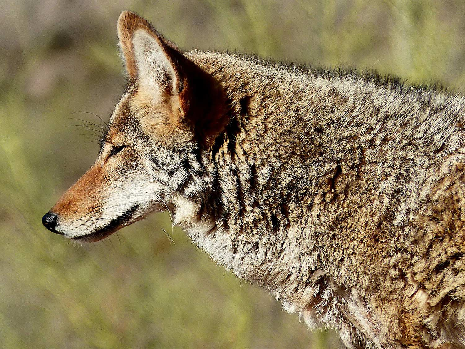 A coyote emerges from the brush.