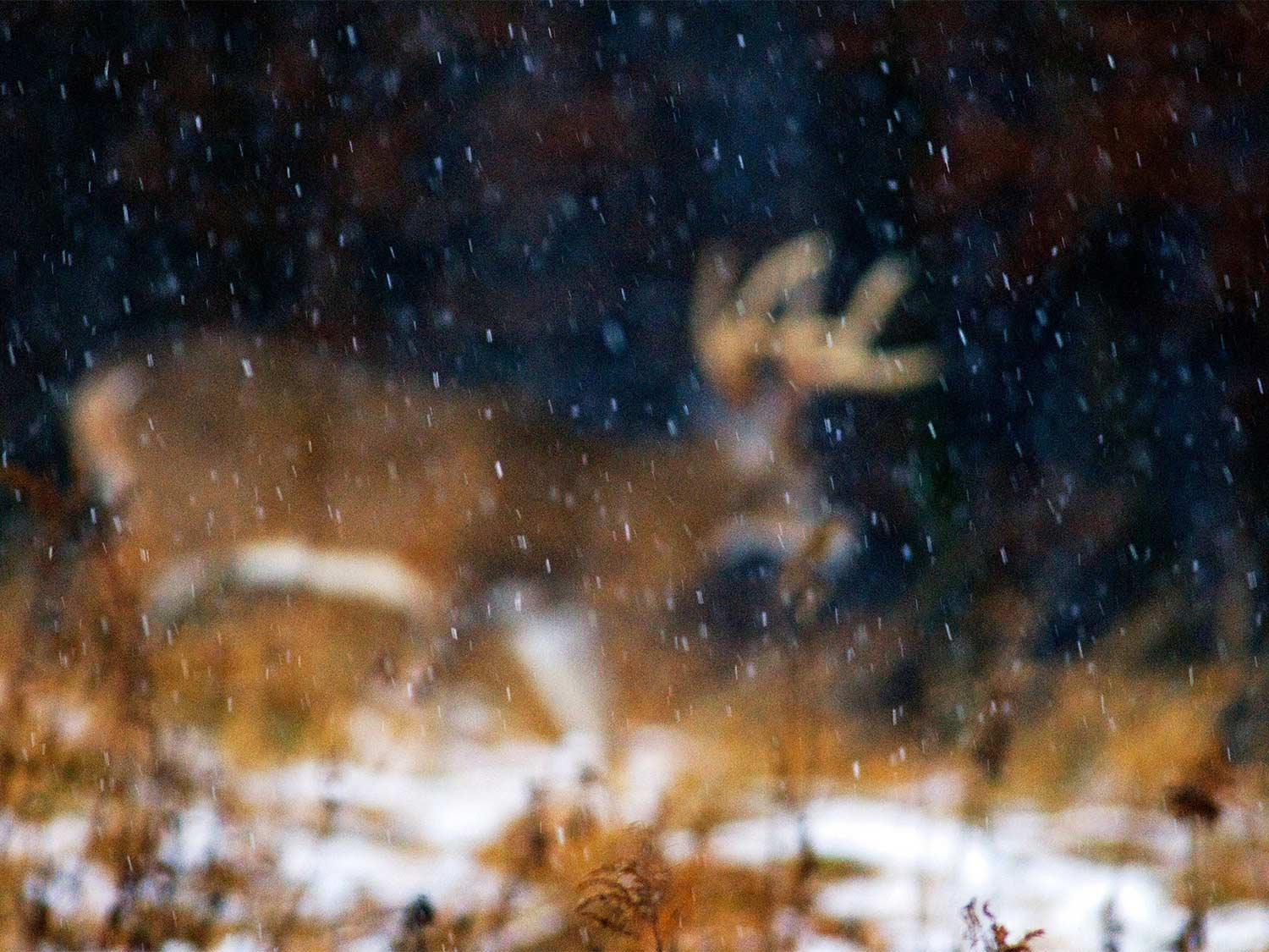 A whitetail deer in the snow.