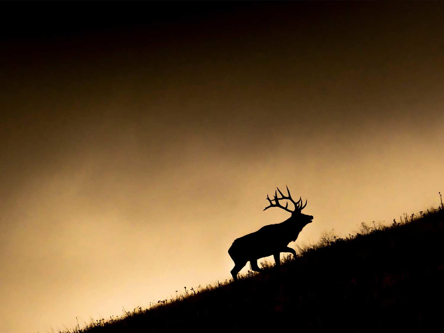 A silhouette of a large bull elk as it walks up a hill.