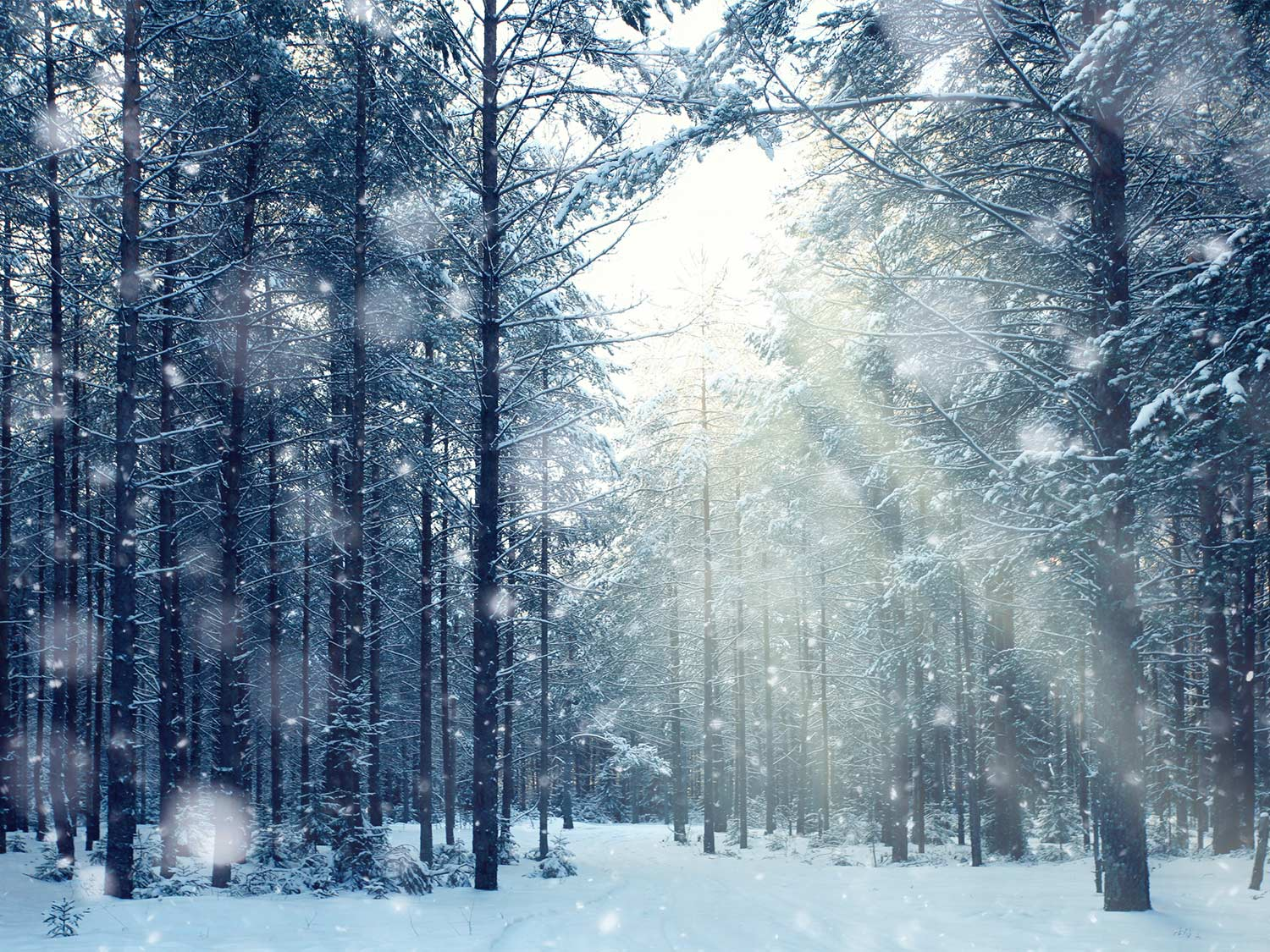 Snow covering the bed and trees of a forest.