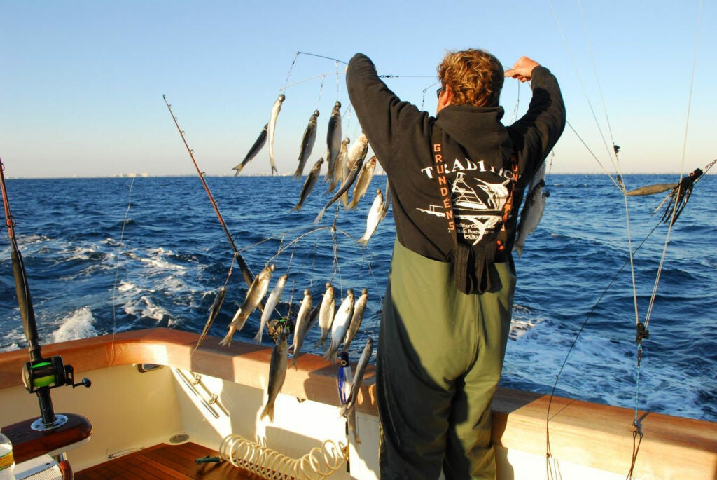 A fisherman using trolled dredges as teasers on the aggressive spindlebeaks.