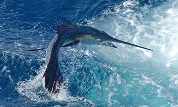 A Season-by-Season Guide to Catching Sailfish
