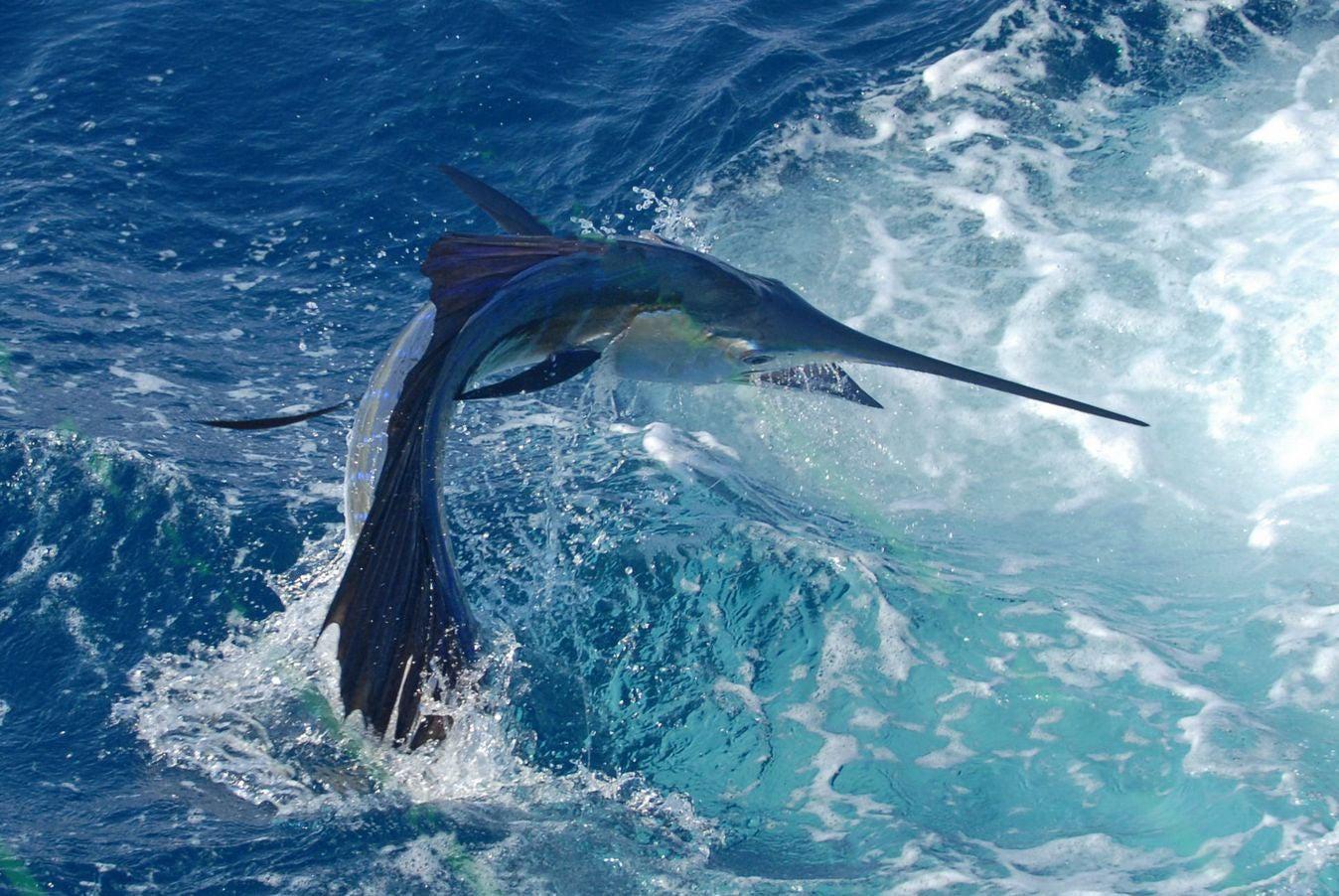Sailfish in the ocean