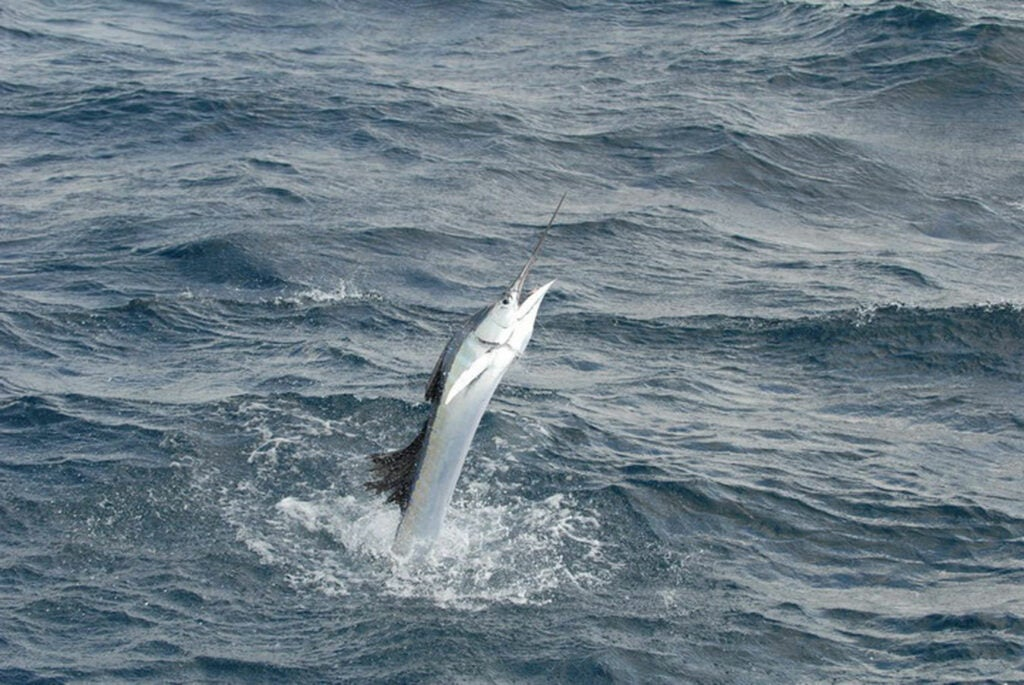 Sailfish are noted for high-speed leaps.