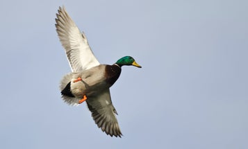 How to Hunt Late-Season Ducks in Stubble Fields