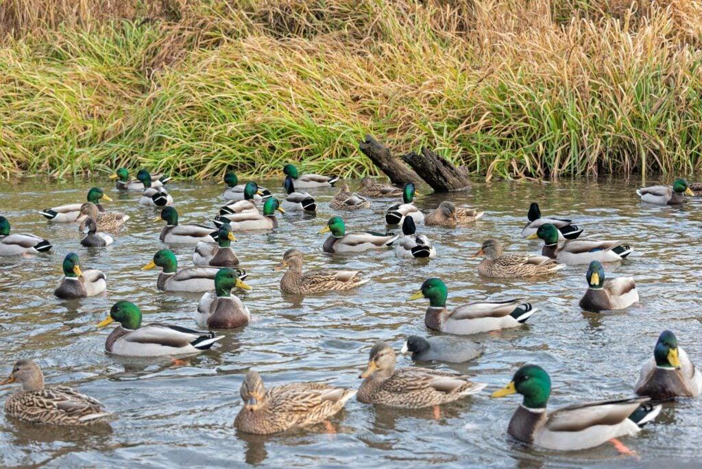 flock of mallards on a small farm pond