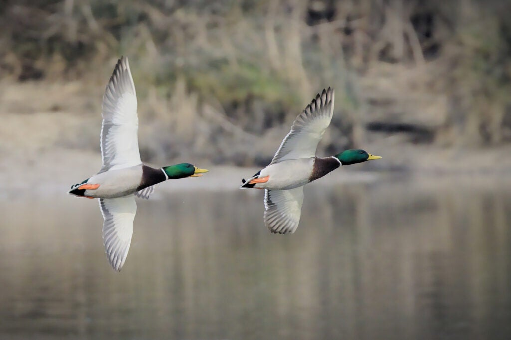 flying mallard drake ducks