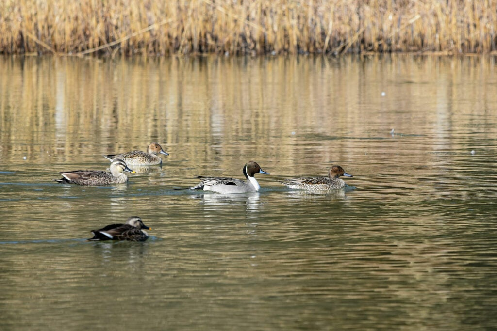 pintail ducks in the water