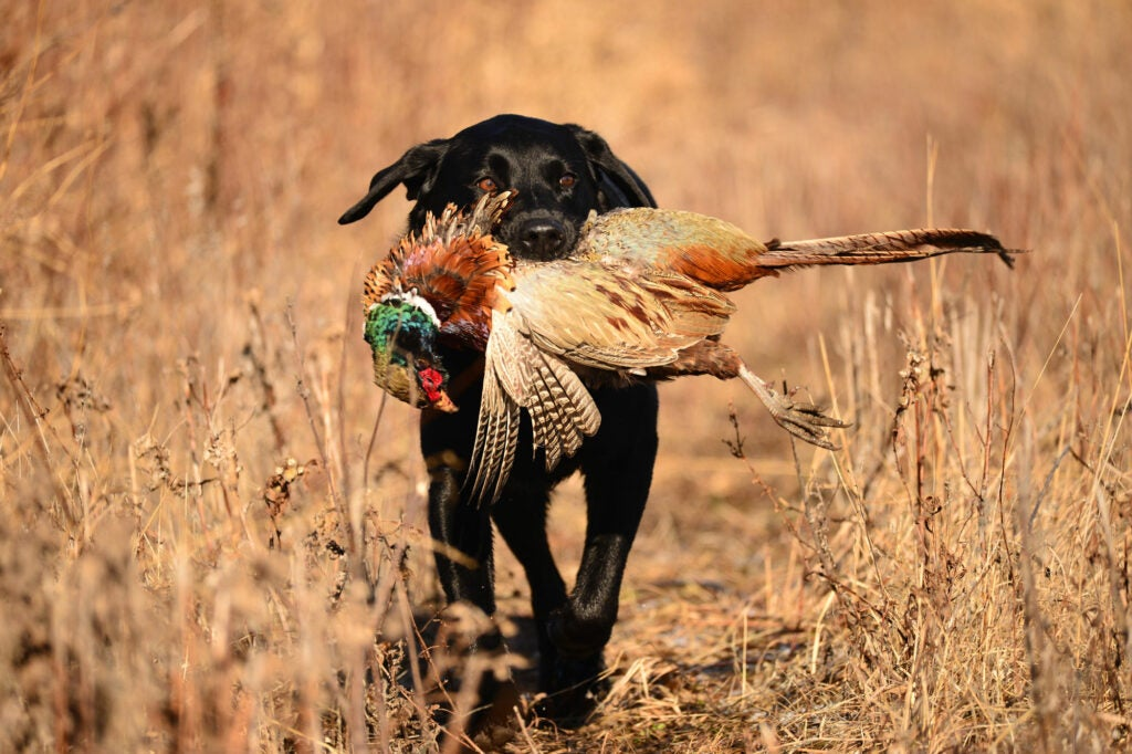 dog with a pheasant in its mouth