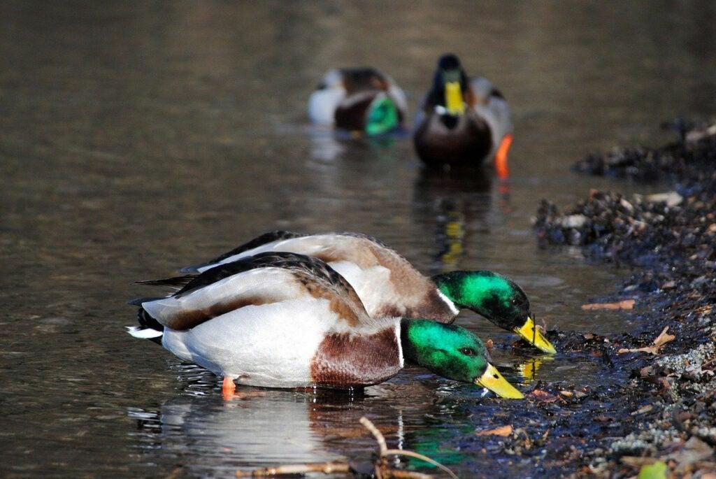 feeding mallard drake ducks