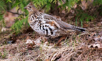 How to Hunt Ruffed Grouse