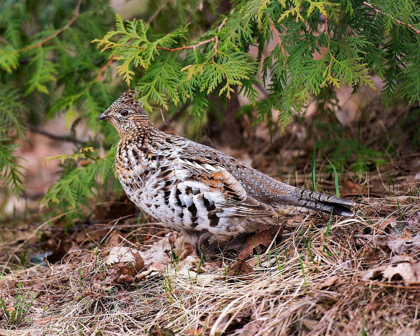 A ruffed grouse on the ground next to a bush.