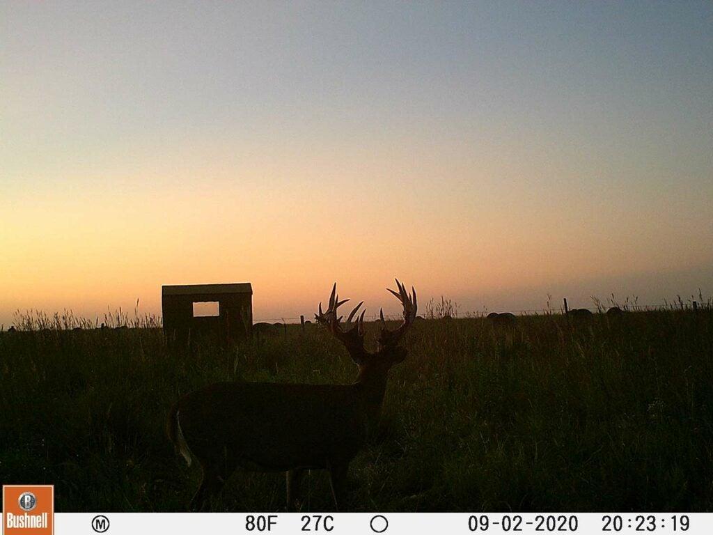 A trail camera photo of a whitetail buck.