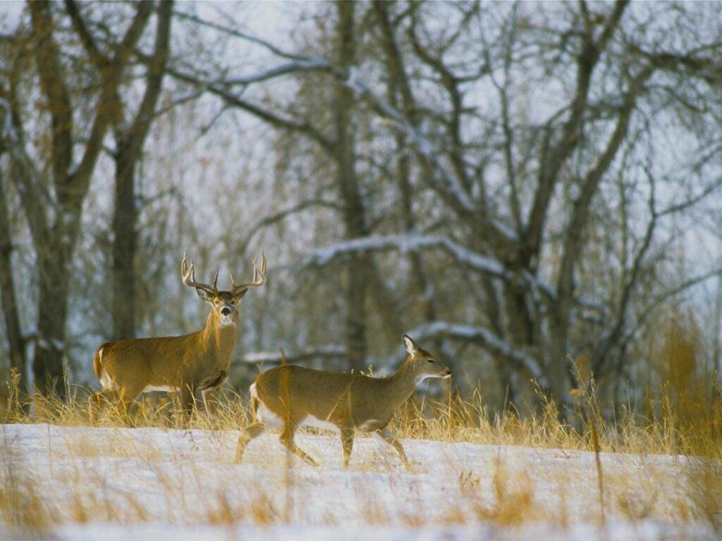 Two deer walk through an open snow field.