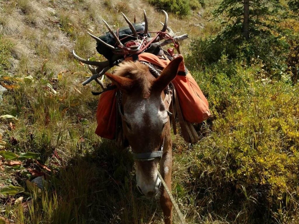 A packed out mule walking through a field.