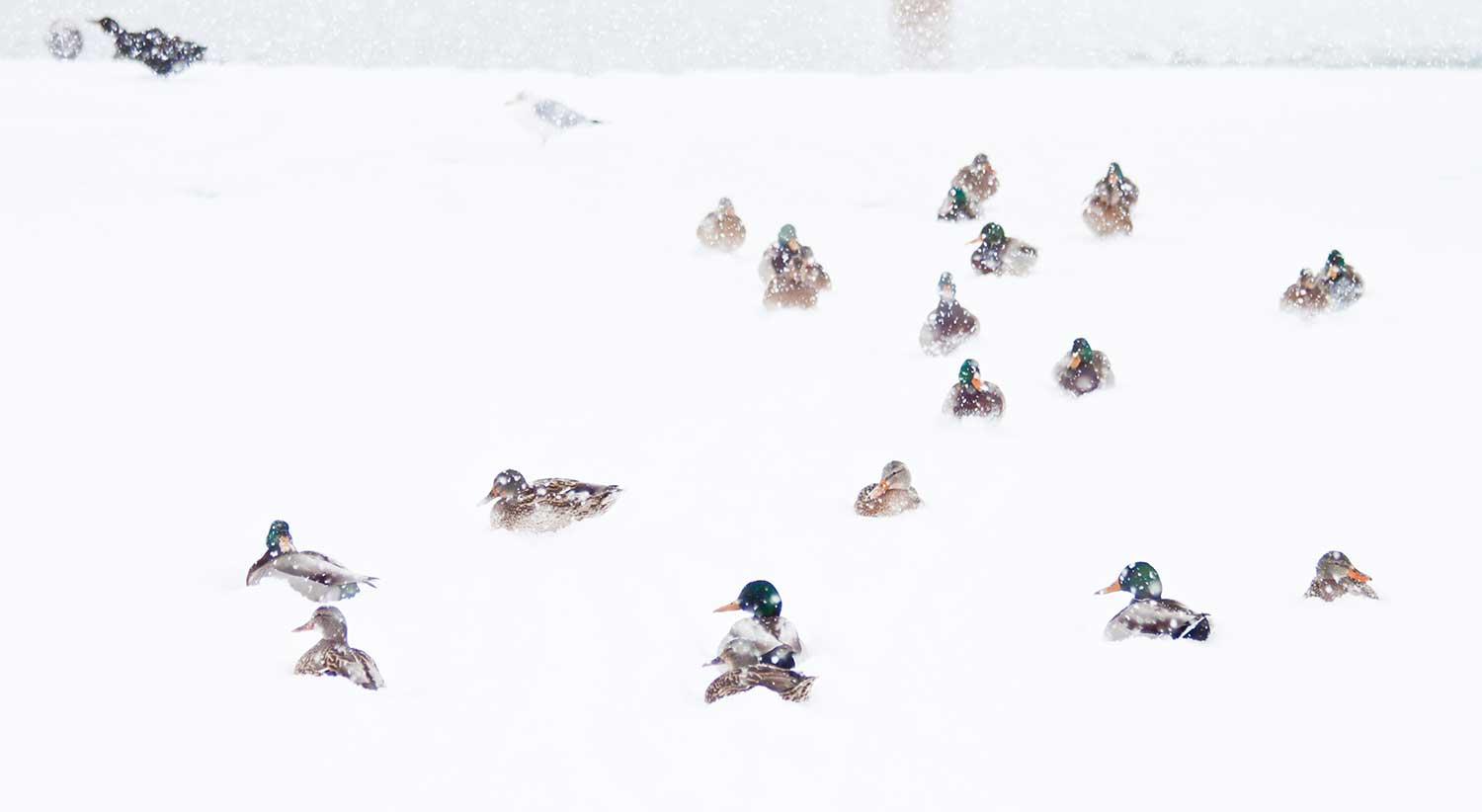A flock of ducks resting in the snow.