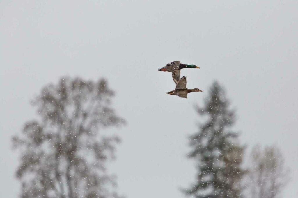 Two ducks fly overhead in a snowy wilderness.
