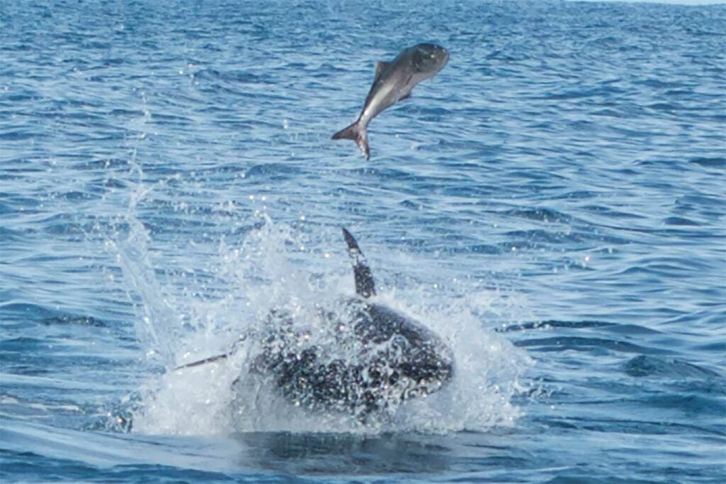 A bluefin tuna and a bluefish fighting in the water.