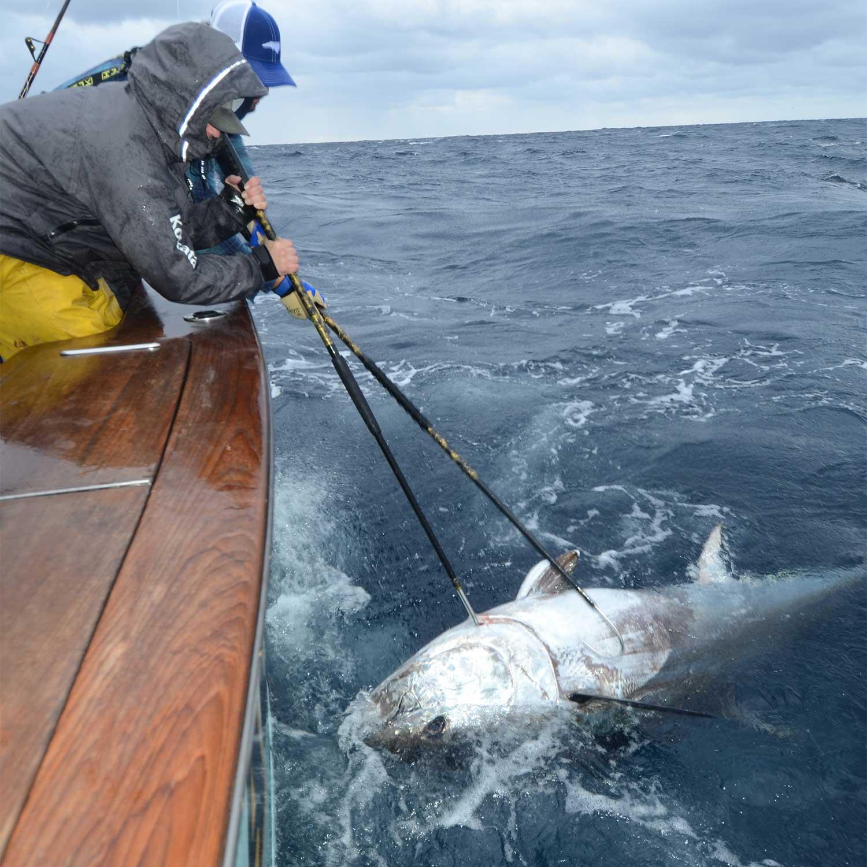 An angler pulls a bluefin tuna boatside.